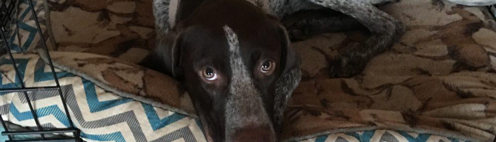 GSP dog